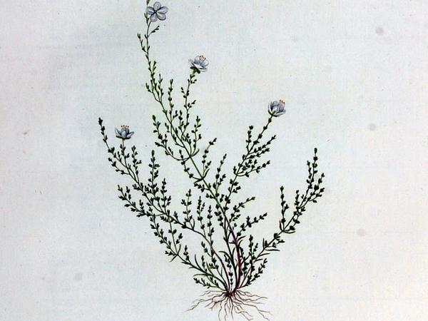 Knotted Pearlwort (Sagina Nodosa) http://www.sagebud.com/knotted-pearlwort-sagina-nodosa