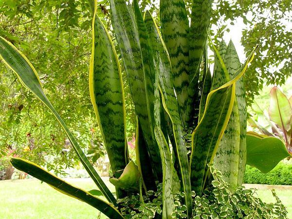 Sansevieria (Sansevieria) http://www.sagebud.com/sansevieria-sansevieria/