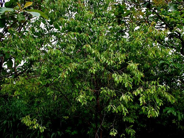 Sandalwood (Santalum) http://www.sagebud.com/sandalwood-santalum