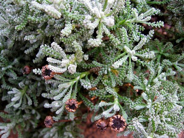 Lavender Cotton (Santolina) http://www.sagebud.com/lavender-cotton-santolina