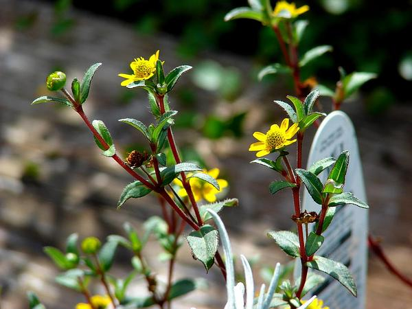 how to grow creeping zinnia from seed