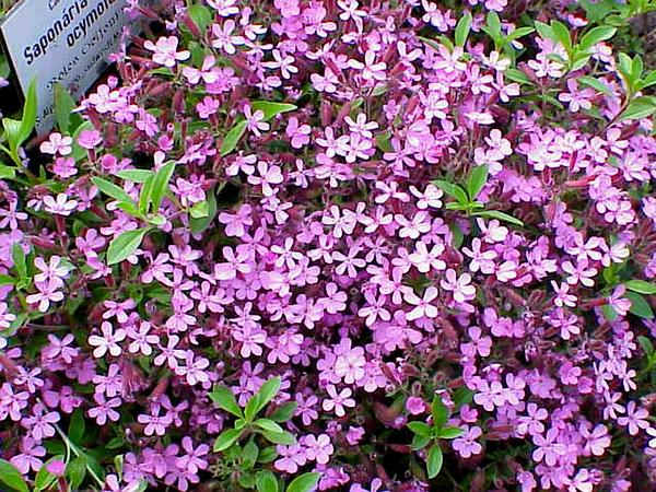 Rock Soapwort (Saponaria Ocymoides) http://www.sagebud.com/rock-soapwort-saponaria-ocymoides/