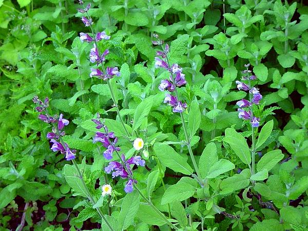 Kitchen Sage (Salvia Officinalis) http://www.sagebud.com/kitchen-sage-salvia-officinalis