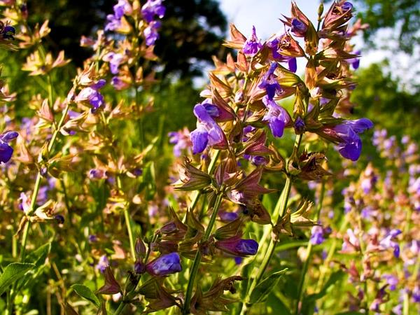 Kitchen Sage (Salvia Officinalis) http://www.sagebud.com/kitchen-sage-salvia-officinalis/