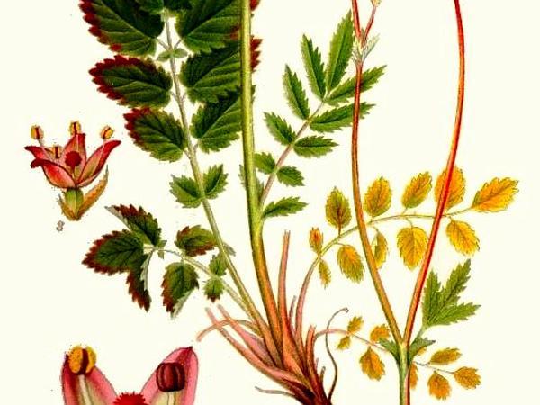 Official Burnet (Sanguisorba Officinalis) http://www.sagebud.com/official-burnet-sanguisorba-officinalis