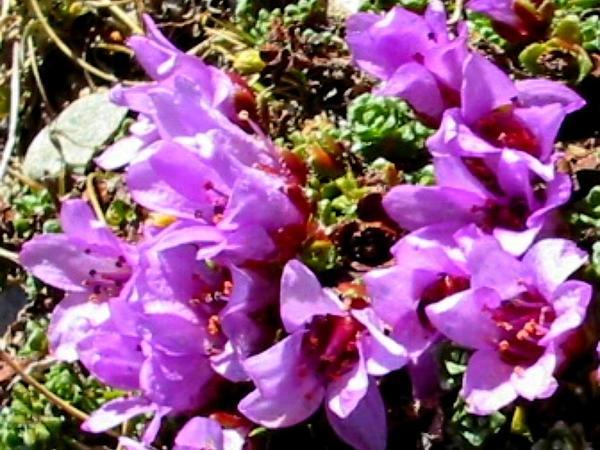Purple Mountain Saxifrage (Saxifraga Oppositifolia) http://www.sagebud.com/purple-mountain-saxifrage-saxifraga-oppositifolia