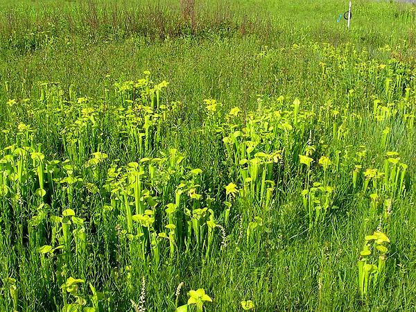 Green Pitcherplant (Sarracenia Oreophila) http://www.sagebud.com/green-pitcherplant-sarracenia-oreophila