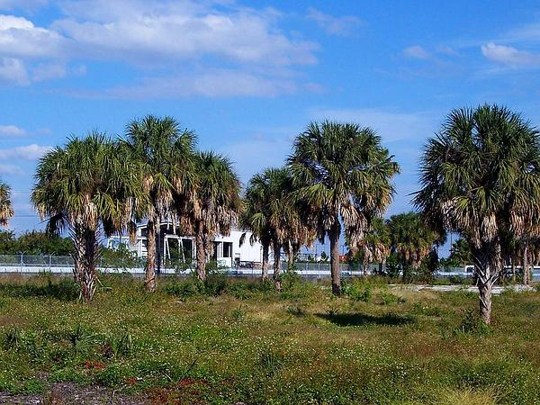 Cabbage Palmetto (Sabal Palmetto) http://www.sagebud.com/cabbage-palmetto-sabal-palmetto
