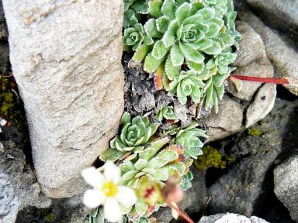White Mountain Saxifrage (Saxifraga Paniculata) http://www.sagebud.com/white-mountain-saxifrage-saxifraga-paniculata