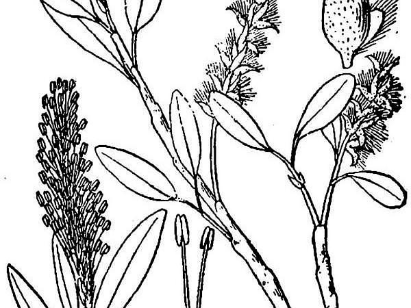 Skeletonleaf Willow (Salix Phlebophylla) http://www.sagebud.com/skeletonleaf-willow-salix-phlebophylla