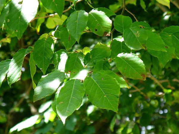 Milktree (Sapium) http://www.sagebud.com/milktree-sapium