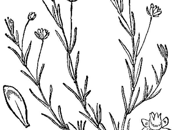 Birdeye Pearlwort (Sagina Procumbens) http://www.sagebud.com/birdeye-pearlwort-sagina-procumbens