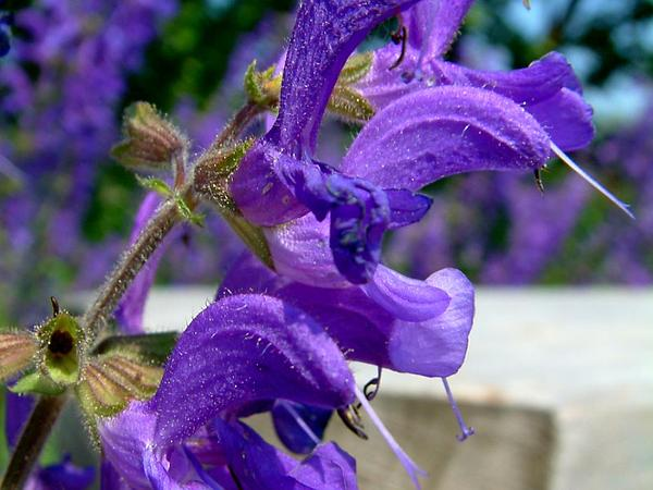 Introduced Sage (Salvia Pratensis) http://www.sagebud.com/introduced-sage-salvia-pratensis/