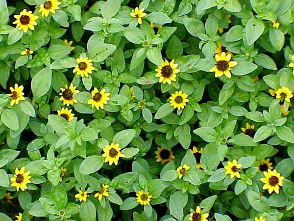 Mexican Creeping Zinnia (Sanvitalia Procumbens) http://www.sagebud.com/mexican-creeping-zinnia-sanvitalia-procumbens