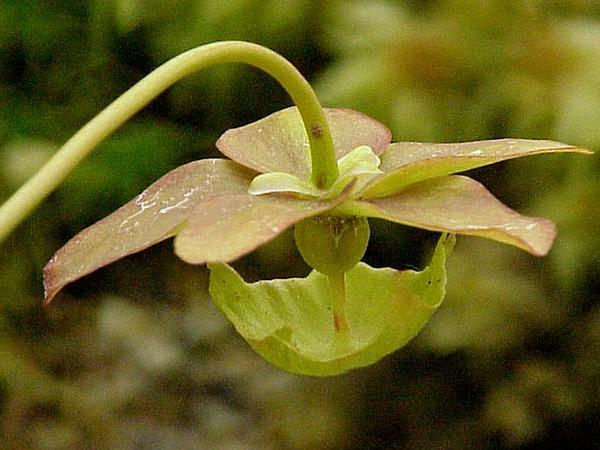 Parrot Pitcherplant (Sarracenia Psittacina) http://www.sagebud.com/parrot-pitcherplant-sarracenia-psittacina