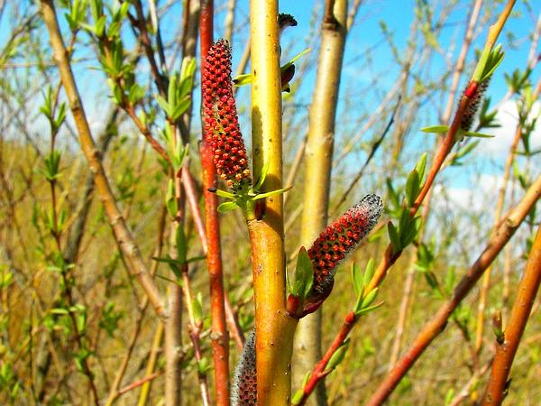 Purpleosier Willow (Salix Purpurea) http://www.sagebud.com/purpleosier-willow-salix-purpurea