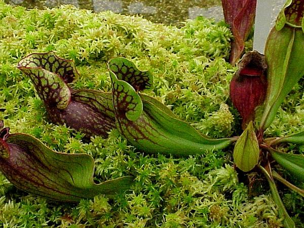 Purple Pitcherplant (Sarracenia Purpurea) http://www.sagebud.com/purple-pitcherplant-sarracenia-purpurea