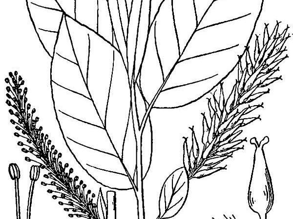 Balsam Willow (Salix Pyrifolia) http://www.sagebud.com/balsam-willow-salix-pyrifolia/