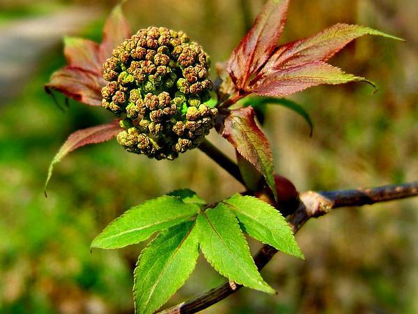 Red Elderberry (Sambucus Racemosa) http://www.sagebud.com/red-elderberry-sambucus-racemosa/