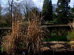 Ravennagrass