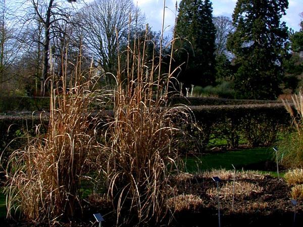 Ravennagrass (Saccharum Ravennae) http://www.sagebud.com/ravennagrass-saccharum-ravennae/
