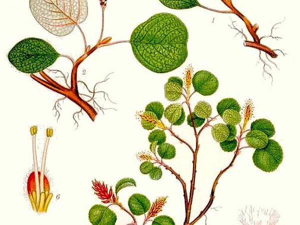 Netleaf Willow (Salix Reticulata) http://www.sagebud.com/netleaf-willow-salix-reticulata