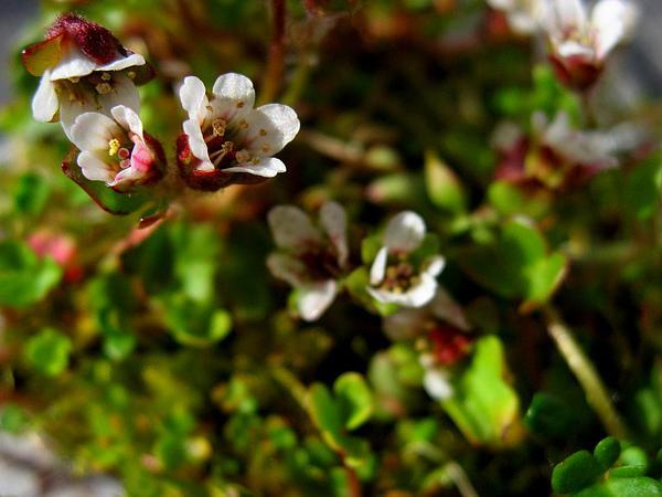 Weak Saxifrage (Saxifraga Rivularis) http://www.sagebud.com/weak-saxifrage-saxifraga-rivularis