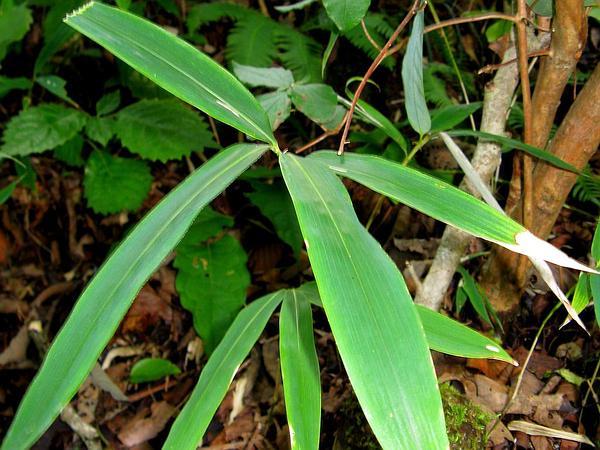 Broadleaf Bamboo (Sasa) http://www.sagebud.com/broadleaf-bamboo-sasa