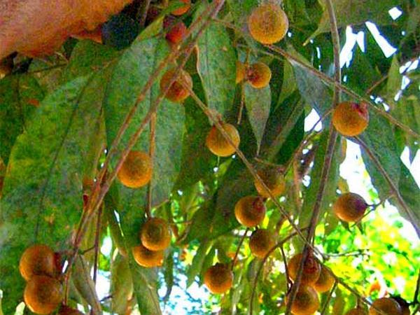 Wingleaf Soapberry (Sapindus Saponaria)