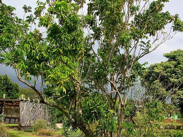 Wingleaf Soapberry (Sapindus Saponaria) http://www.sagebud.com/wingleaf-soapberry-sapindus-saponaria/
