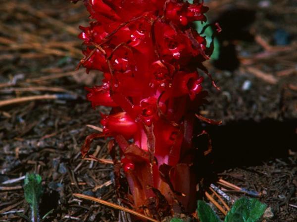 Snowplant (Sarcodes Sanguinea) http://www.sagebud.com/snowplant-sarcodes-sanguinea