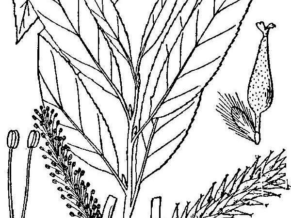 Silky Willow (Salix Sericea) http://www.sagebud.com/silky-willow-salix-sericea