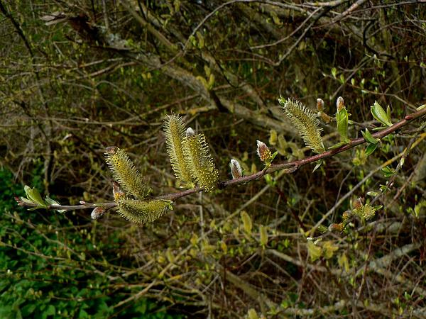Sitka Willow (Salix Sitchensis) http://www.sagebud.com/sitka-willow-salix-sitchensis/