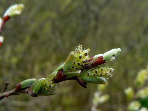 Sitka Willow (Salix Sitchensis) http://www.sagebud.com/sitka-willow-salix-sitchensis
