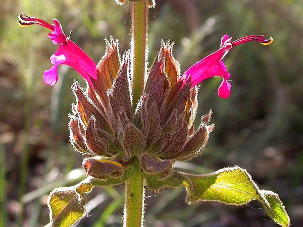 Hummingbird Sage (Salvia Spathacea) http://www.sagebud.com/hummingbird-sage-salvia-spathacea/