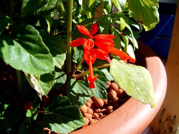 Scarlet Sage (Salvia Splendens) http://www.sagebud.com/scarlet-sage-salvia-splendens