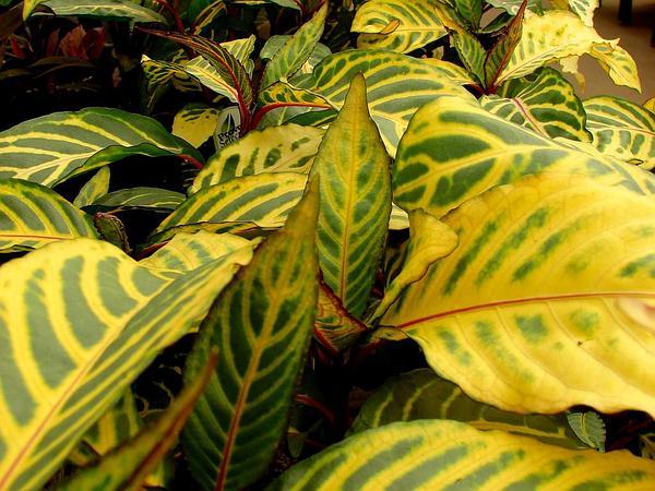 Shrubby Whitevein (Sanchezia Speciosa) http://www.sagebud.com/shrubby-whitevein-sanchezia-speciosa