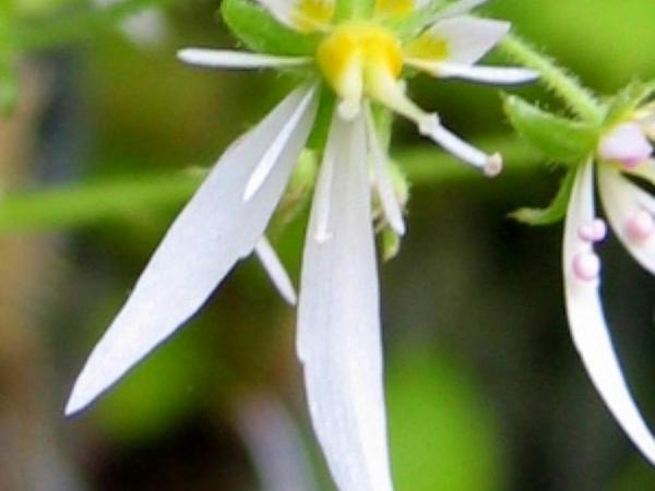 Creeping Saxifrage (Saxifraga Stolonifera) http://www.sagebud.com/creeping-saxifrage-saxifraga-stolonifera