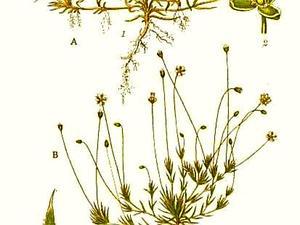 Awl-Leaf Pearlwort