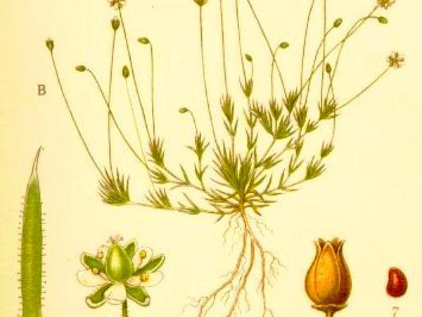Awl-Leaf Pearlwort (Sagina Subulata) http://www.sagebud.com/awl-leaf-pearlwort-sagina-subulata