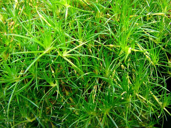 Awl-Leaf Pearlwort (Sagina Subulata) http://www.sagebud.com/awl-leaf-pearlwort-sagina-subulata/