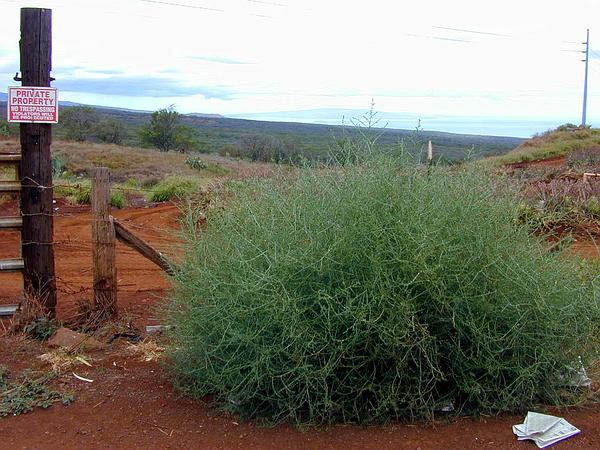 Prickly Russian Thistle (Salsola Tragus) http://www.sagebud.com/prickly-russian-thistle-salsola-tragus/