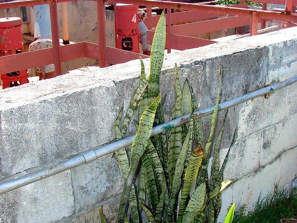 Viper's Bowstring Hemp (Sansevieria Trifasciata) http://www.sagebud.com/vipers-bowstring-hemp-sansevieria-trifasciata