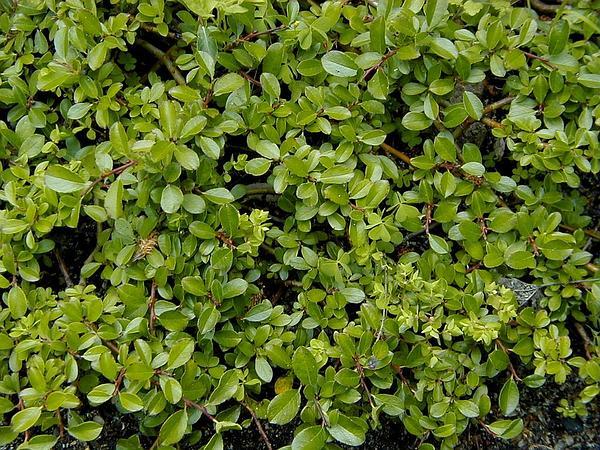 Bearberry Willow (Salix Uva-Ursi) http://www.sagebud.com/bearberry-willow-salix-uva-ursi/