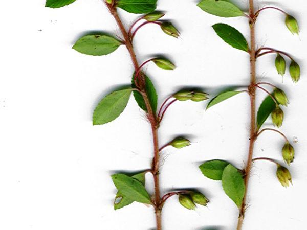 Sauvagesia (Sauvagesia) http://www.sagebud.com/sauvagesia-sauvagesia/