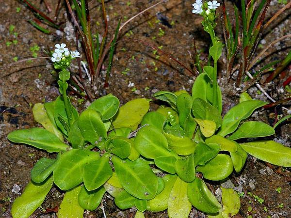 Seaside Brookweed (Samolus Valerandi) http://www.sagebud.com/seaside-brookweed-samolus-valerandi/