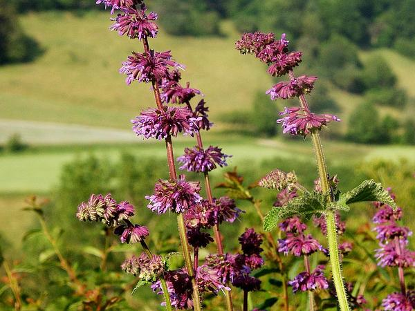 Lilac Sage (Salvia Verticillata) http://www.sagebud.com/lilac-sage-salvia-verticillata