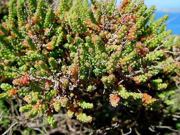 Shrubby Russian Thistle (Salsola Vermiculata) http://www.sagebud.com/shrubby-russian-thistle-salsola-vermiculata/