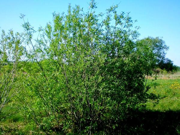 Basket Willow (Salix Viminalis) http://www.sagebud.com/basket-willow-salix-viminalis