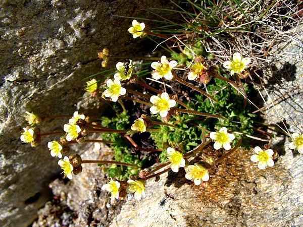 Saxifrage (Saxifraga) http://www.sagebud.com/saxifrage-saxifraga/